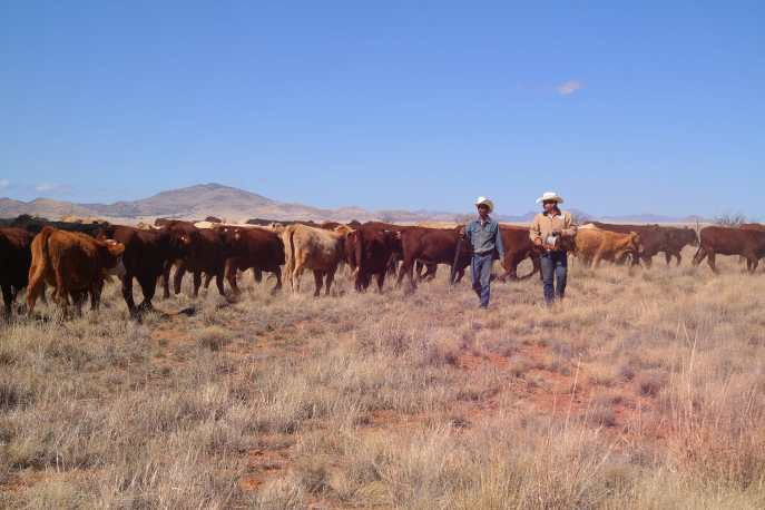 Moving the cattle