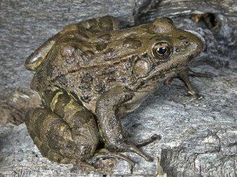 Lowland Leopard Frog2, Cajon Bonito © Vritra Dragon